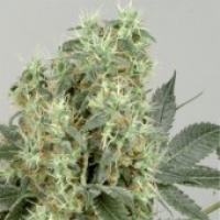 The Magician Feminised Cannabis Seeds