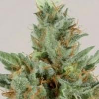 White Skunk Feminised Cannabis Seeds
