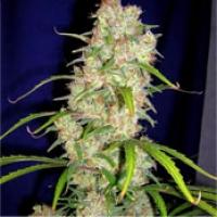 Destroyer Feminised Cannabis Seeds