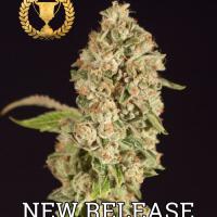 Raspberry Waffles Feminised Cannabis Seeds   Devil's Harvest Seeds