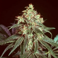 Devil Regular Cannabis Seeds | Mr Nice Seeds