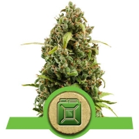Diesel Auto Feminised Cannabis Seeds | Royal Queen Seeds