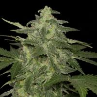 Diesel-Matic Auto Feminised Cannabis Seeds