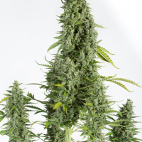 Cheese Autoflowering Feminised Cannabis Seeds | Dinafem Seeds