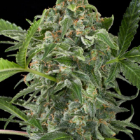 White Cheese Auto Feminised Cannabis Seeds | Dinafem Seeds