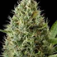 Dinamex Feminised Cannabis Seeds | Dinafem Seeds