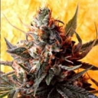 Double Kush Regular Cannabis Seeds | Delta 9 Labs