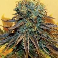 Dream Catcher Feminised Cannabis Seeds | Taylor'd Genetics