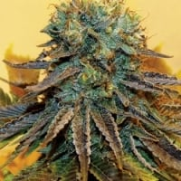 Dream Catcher Feminised Cannabis Seeds | Taylor'd Genetics