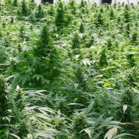 Dreamtime Regular Cannabis Seeds | Mr Nice Seeds