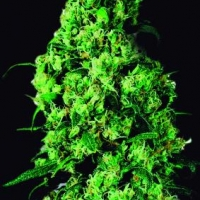 Dulce de Leche Feminised Cannabis Seeds