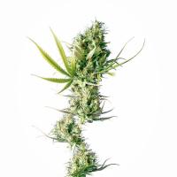 Durban Feminised Cannabis Seeds | Sensi Seeds