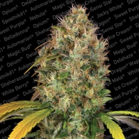 Dutch Kush Feminised Cannabis Seeds | Paradise Seeds