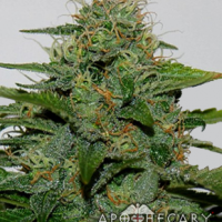 Earth OG Regular Cannabis Seeds | Apothecary Genetics Seeds