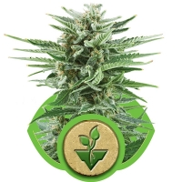 Easy Bud Auto Feminised Cannabis Seeds | Royal Queen Seeds