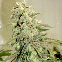 Elephant Stomper Regular Cannabis Seeds | Hazeman Seeds