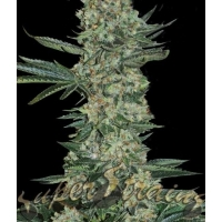 Enemy of the State Feminised Cannabis Seeds | Superstrains