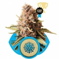 Euphoria Feminised Cannabis Seeds | Royal Queen Seeds
