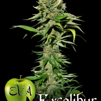 Excalibur Feminised Cannabis Seeds