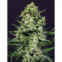 Exotic Colours Feminised Cannabis Seeds