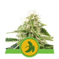Fat Banana Auto Feminised Cannabis Seeds | Royal Queen Seeds