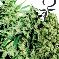 Female Mix Feminised Cannabis Seeds | White Label Seed Company
