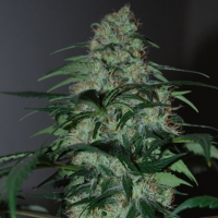 Five-O Feminised Cannabis Seeds