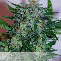 Flash Babylon Auto Feminised Cannabis Seeds
