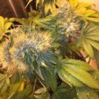 Buy Strain Hunters Flowerbomb Kush Feminised Cannabis Seeds