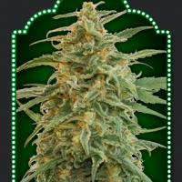 Auto Gorilla Feminised Cannabis Seeds | OO Seeds