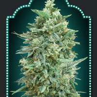 Auto Northern Lights XXL Feminised Cannabis Seeds | OO Seeds