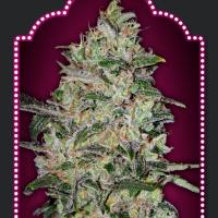 Bubble Gum Fast Feminised Cannabis Seeds | OO Seeds