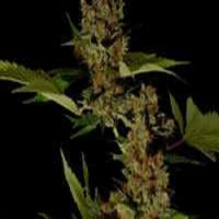 Free Tibet Regular Cannabis Seeds | Soma Seeds