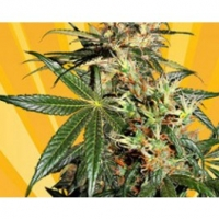 Freedom Haze Feminised Cannabis Seeds