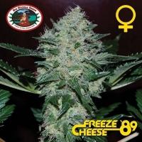 Freeze Cheese '89 Feminised Cannabis Seeds | Big Buddha Seeds
