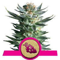 Fruit Spirit Feminised Cannabis Seeds | Royal Queen Seeds