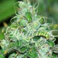 Fruity Chronic Juice Feminised Cannabis Seeds | Delicious Seeds