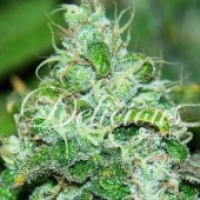 Fruity Chronic Juice Feminised Cannabis Seeds | Delicious Seeds