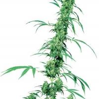 Fruity Juice Regular Cannabis Seeds | Sensi Seeds