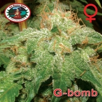 Big Buddha Seeds G Bomb Feminised Cannabis Seeds For Sale