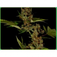G13 Haze x Free Tibet Regular Cannabis Seeds | Soma Seeds
