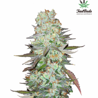 G14 Auto Feminised Cannabis Seeds | Fast Buds