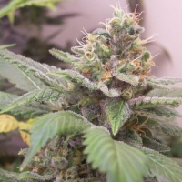 Gangster OG Regular Cannabis Seeds | Hazeman Seeds