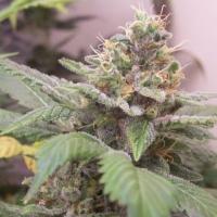 Gangster OG Regular Cannabis Seeds | Hazeman Seeds
