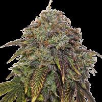 Gelato # 41 Auto Feminised Cannabis Seeds | Seed Stockers