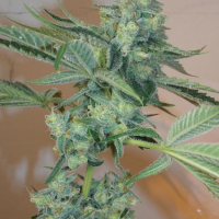 Girl Scout Cookies Feminised Seeds | Cali Connection