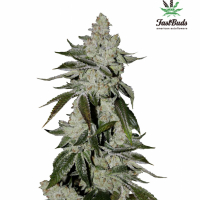 Girl Scout Cookies Auto Feminised Cannabis Seeds   Fast Buds