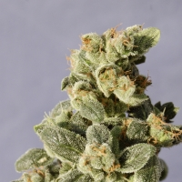 Gnomo Automatic Feminised Cannabis Seeds