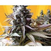 Godberry Regular Cannabis Seeds