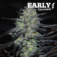 Golosa Early Version Feminised Cannabis Seeds | Delicious Seeds